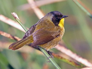 - Black-polled Yellowthroat
