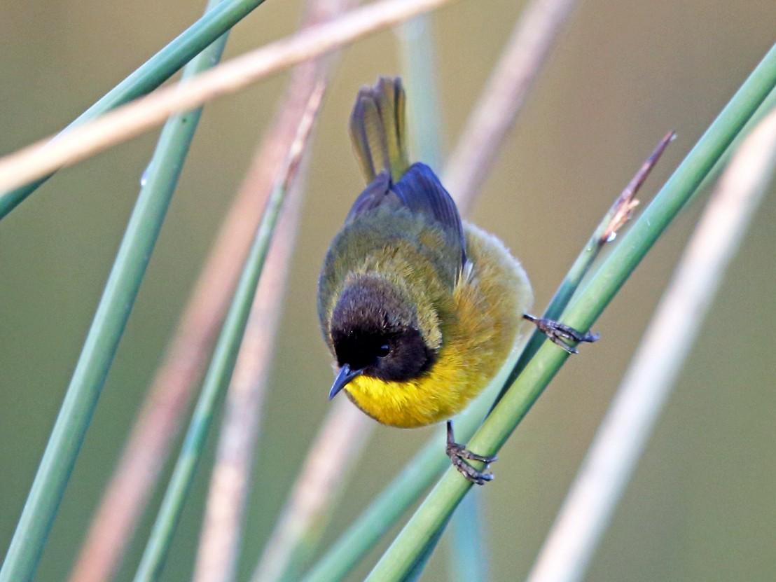 Black-polled Yellowthroat - Nigel Voaden
