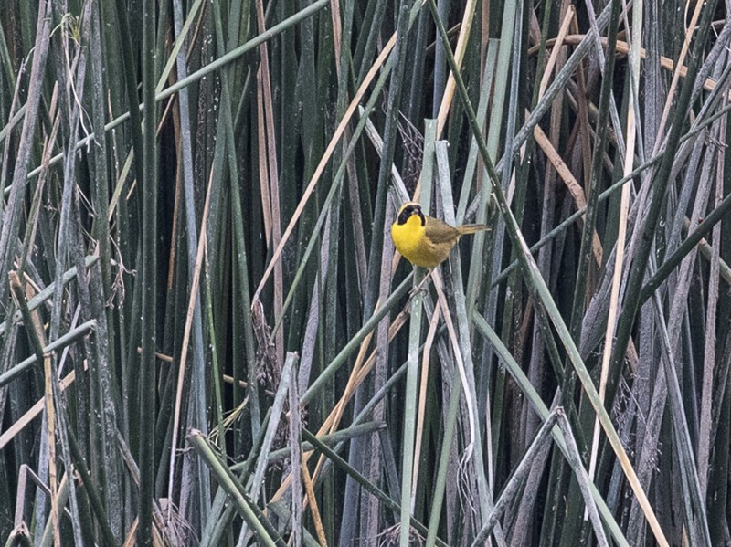 Belding's Yellowthroat - Ken Chamberlain