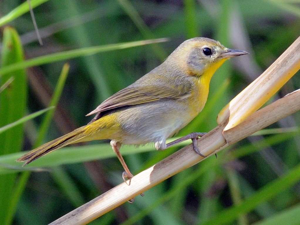 Belding's Yellowthroat - Steven Mlodinow