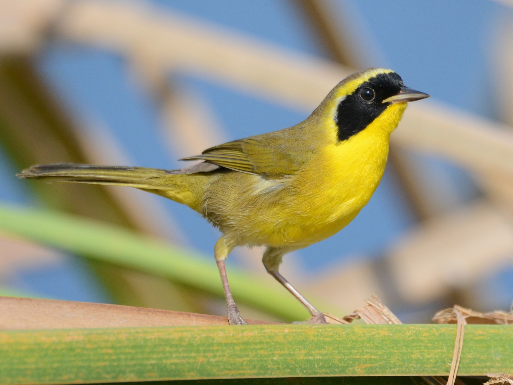 Belding's Yellowthroat - Alan Van Norman