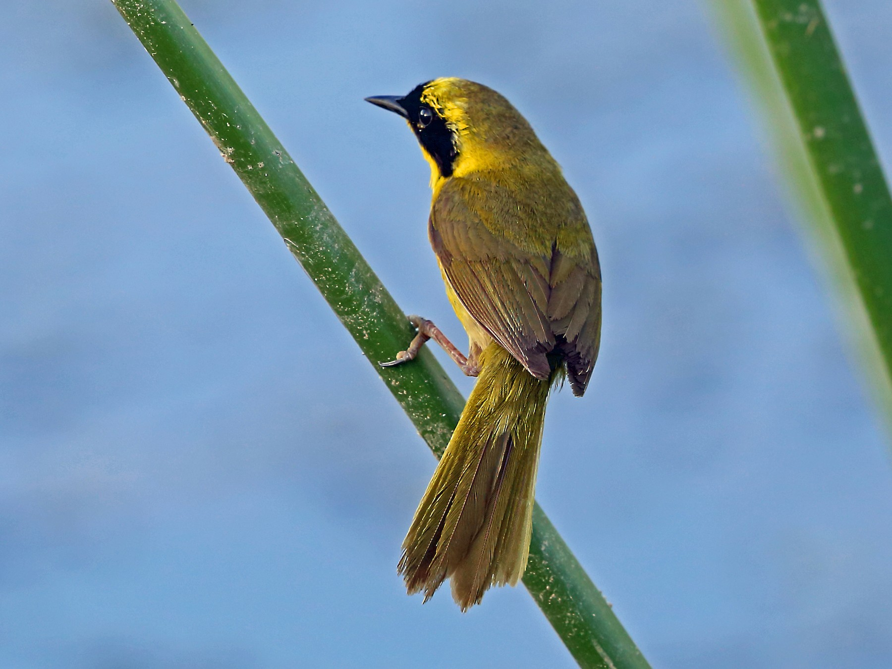 Belding's Yellowthroat - Nigel Voaden