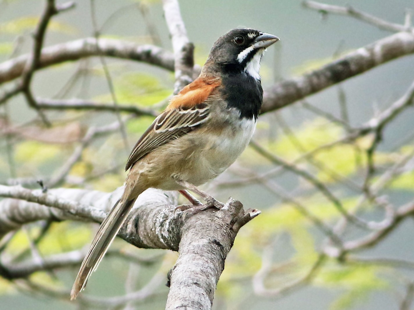 Black-chested Sparrow - Andrew Spencer