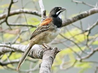 - Black-chested Sparrow