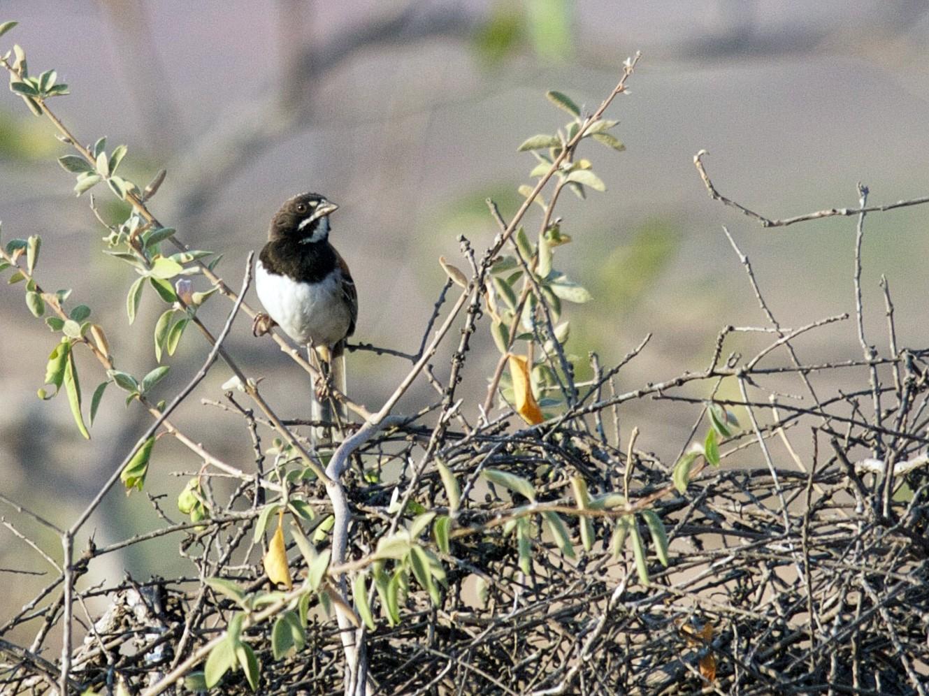 Black-chested Sparrow - Matt Brady