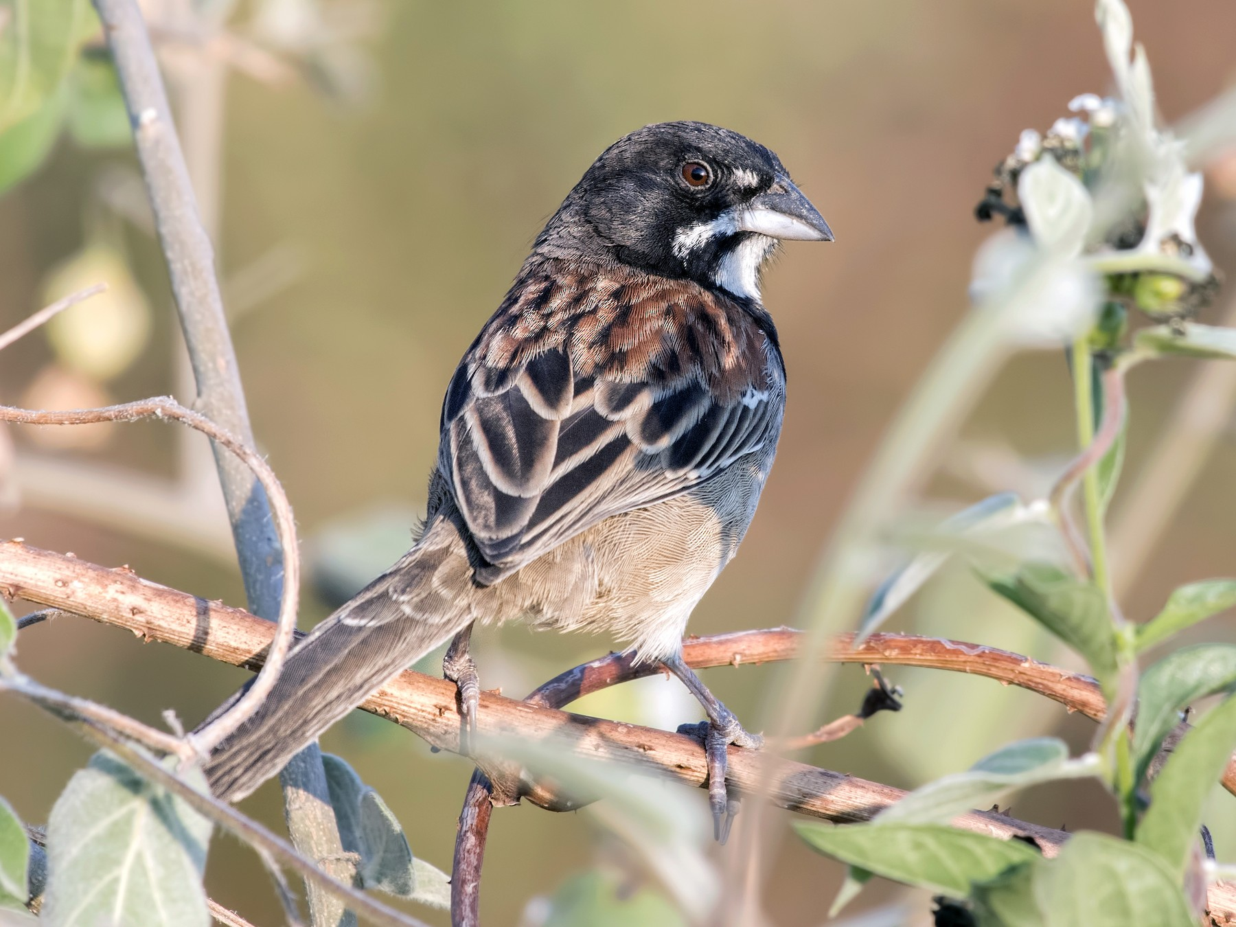 Black-chested Sparrow - Carl Giometti
