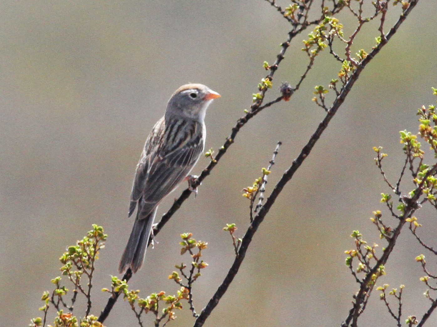 Worthen's Sparrow - Michael Ward