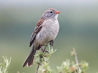 - Worthen's Sparrow