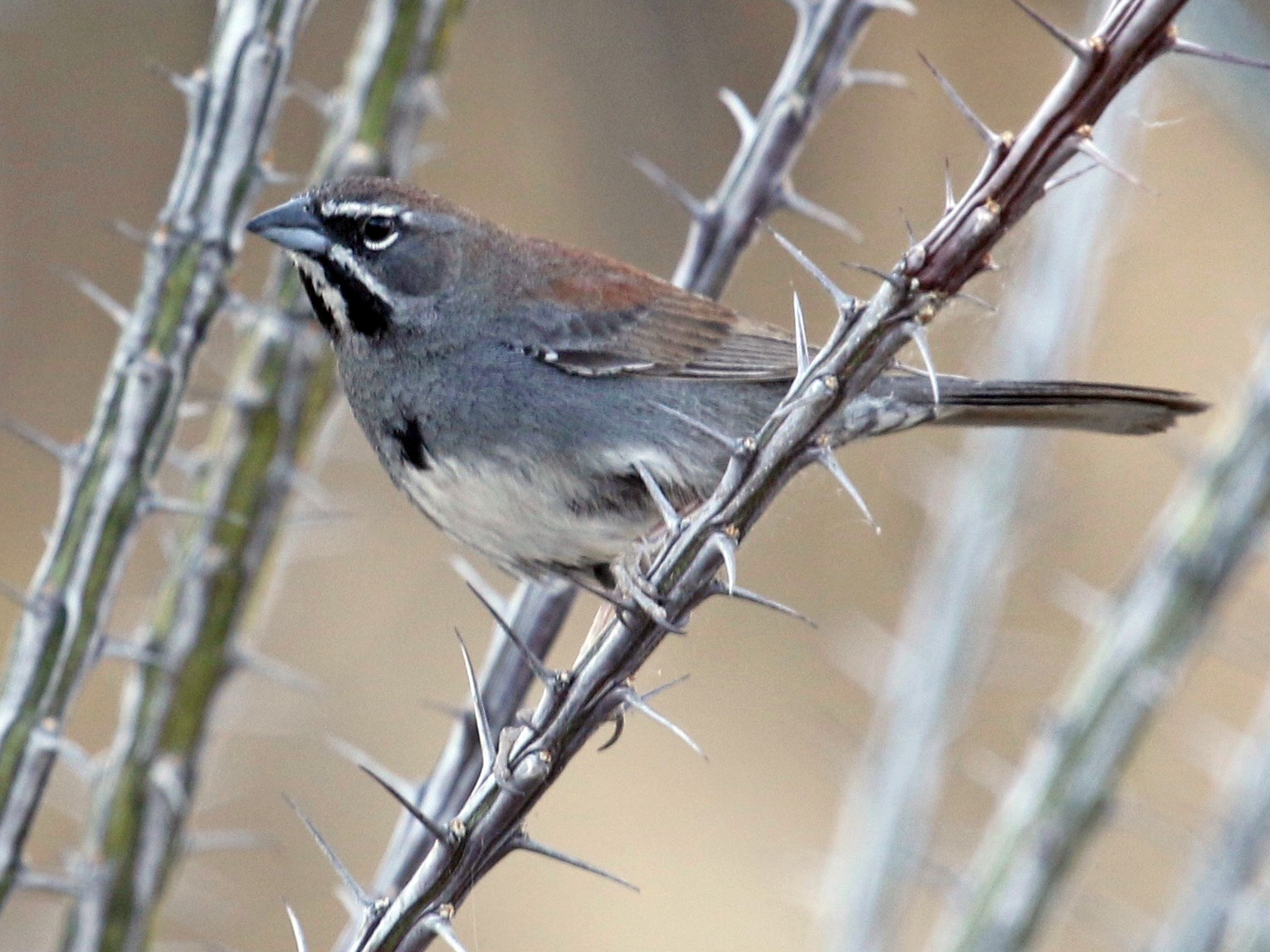 Five-striped Sparrow - Laurens Halsey