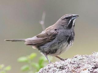 - Five-striped Sparrow