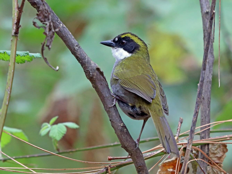 Green-striped Brushfinch - Nigel Voaden