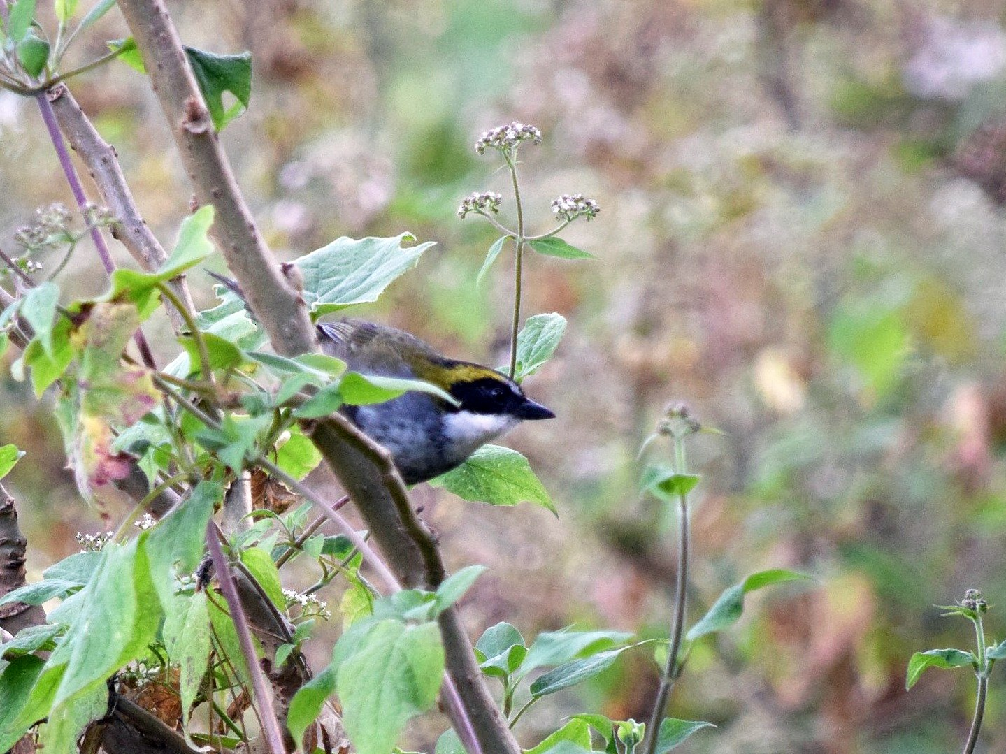 Green-striped Brushfinch - Raúl Caballero (Mexihca Aves)