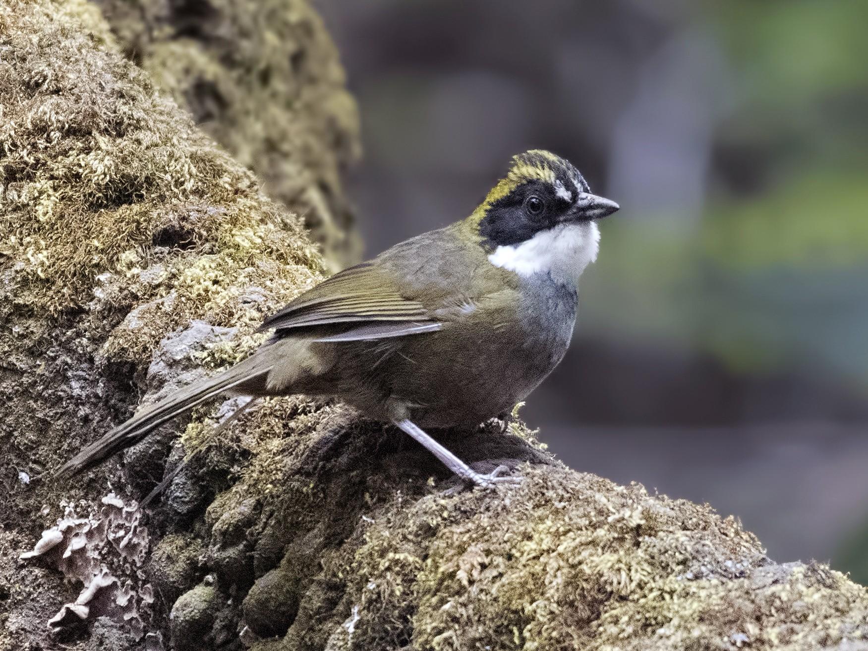 Green-striped Brushfinch - Carl Giometti🍺