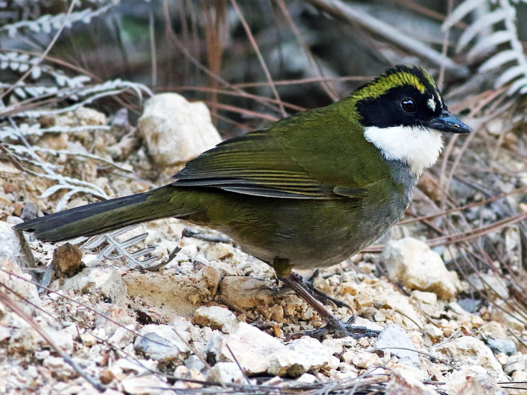 Green-striped Brushfinch - Andrew Spencer