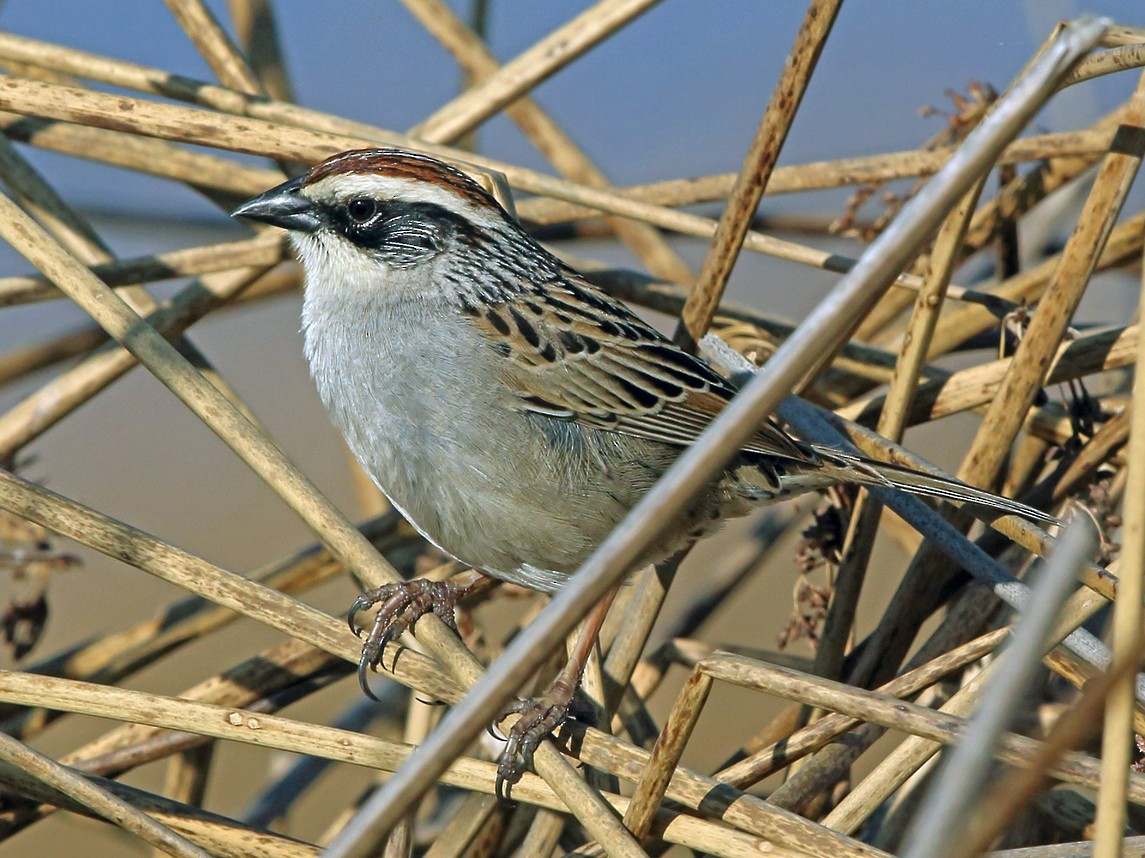 Striped Sparrow - Nigel Voaden