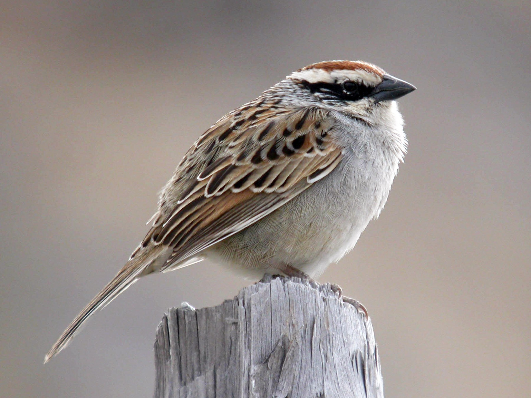 Striped Sparrow - Marshall Iliff