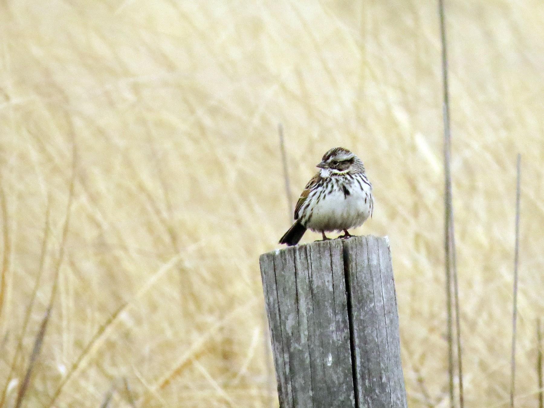 Sierra Madre Sparrow - Jason Fidorra
