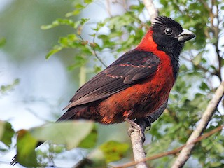 - Crimson-collared Grosbeak