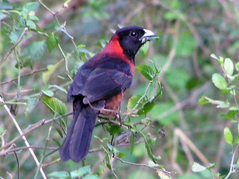 Crimson-collared Grosbeak - Janet Rathjen
