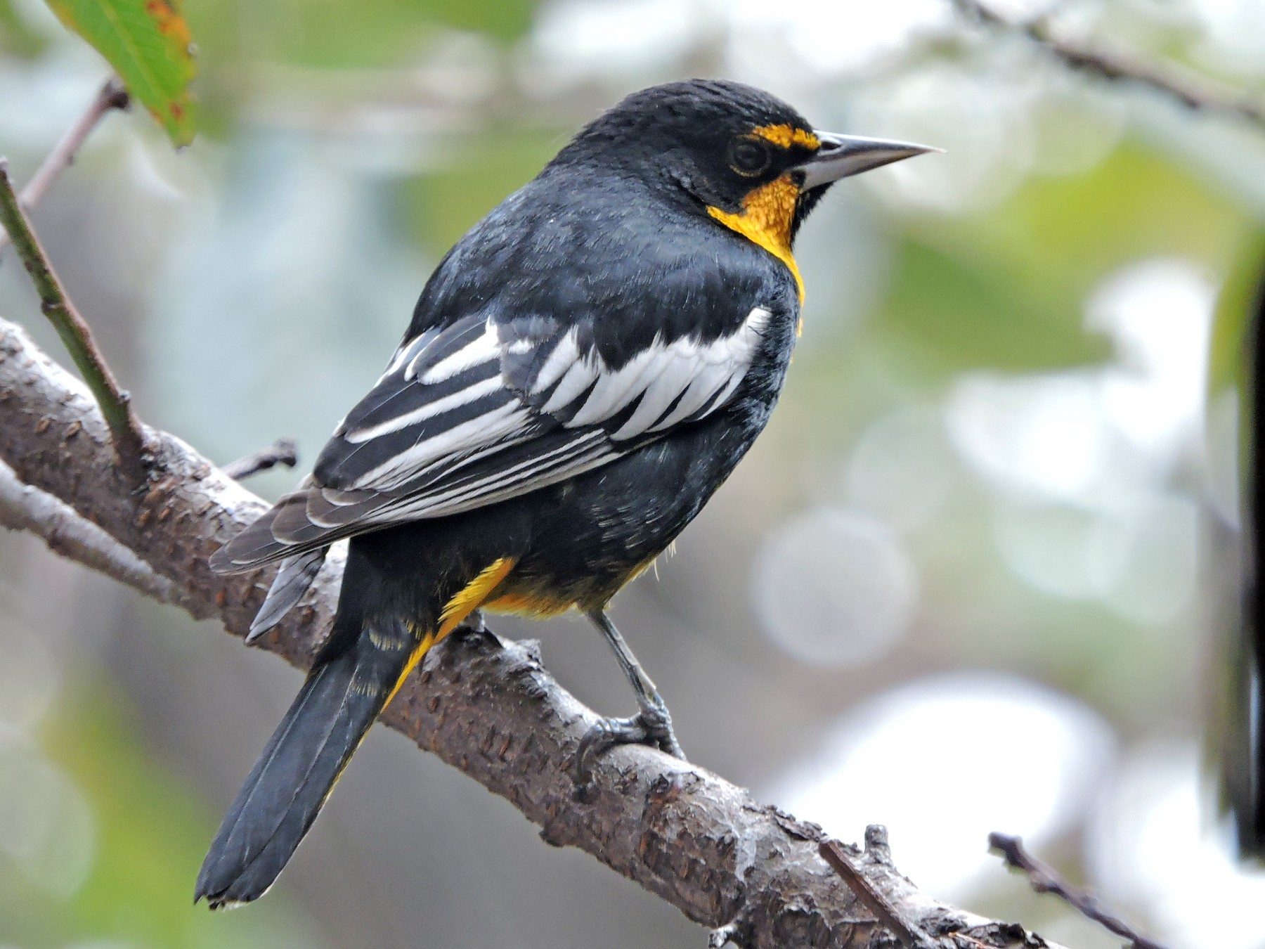 Black-backed Oriole - Manuel Becerril González