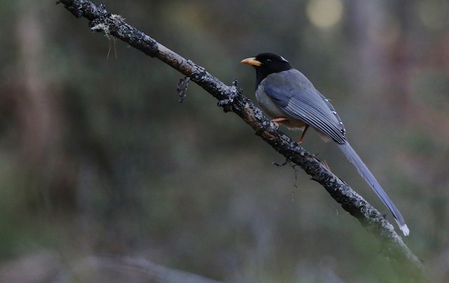 Yellow-billed Blue-Magpie