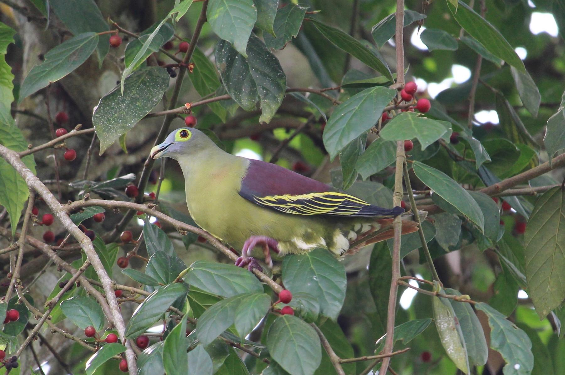 Gray-cheeked Green-Pigeon - Bruno Durand