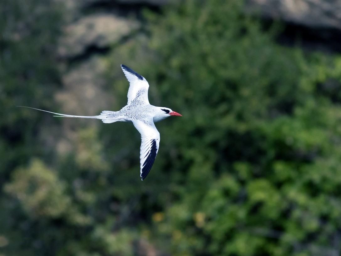 Red-billed Tropicbird - Tom Johnson