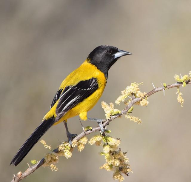 Audubon's Oriole (Audubon's)