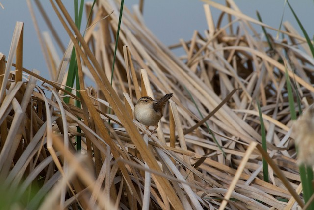 Marsh Wren (palustris Group)