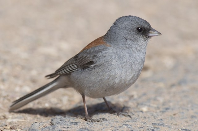 Dark-eyed Junco (Red-backed)