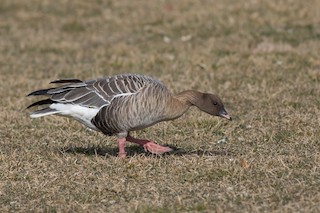 Pink-footed Goose, ML49262651