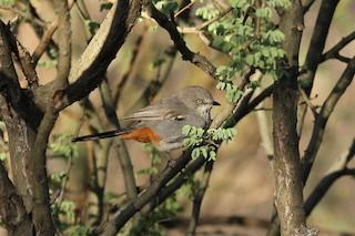 - Chestnut-vented Warbler