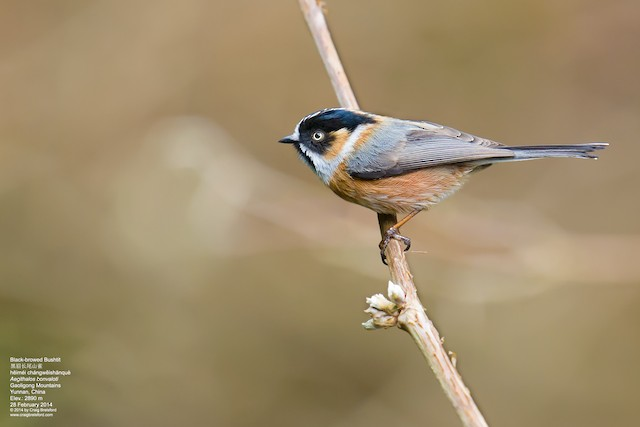 Black-browed Tit (Black-browed)