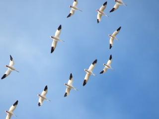 Snow Goose, ML49328811