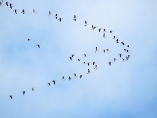 Cackling Goose, ML49328821