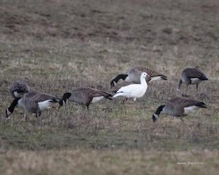Ross's Goose, ML49392001