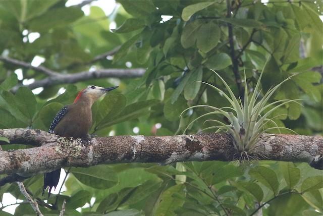 Jamaican Woodpecker