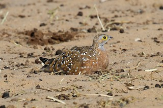 - Burchell's Sandgrouse