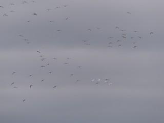 Ross's Goose, ML49482361