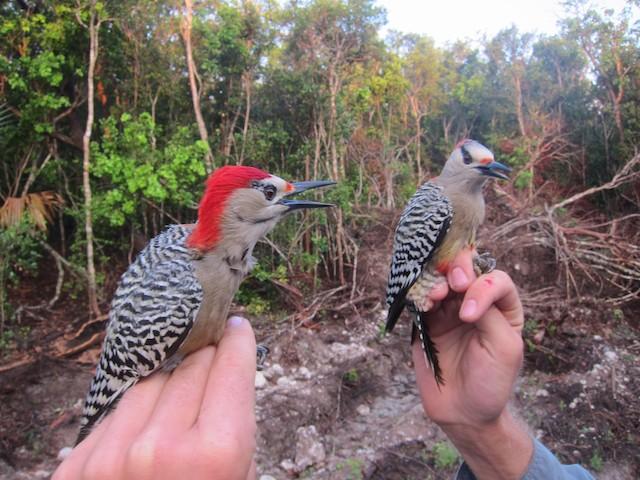 Male and female (subspecies <em>nyeanus</em>).