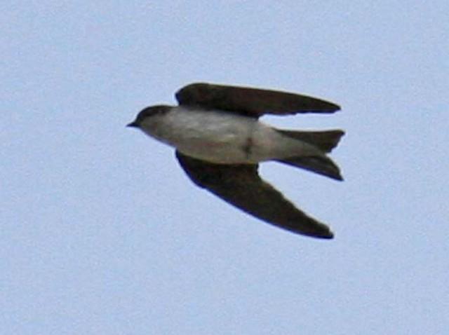 Tumbes Swallow