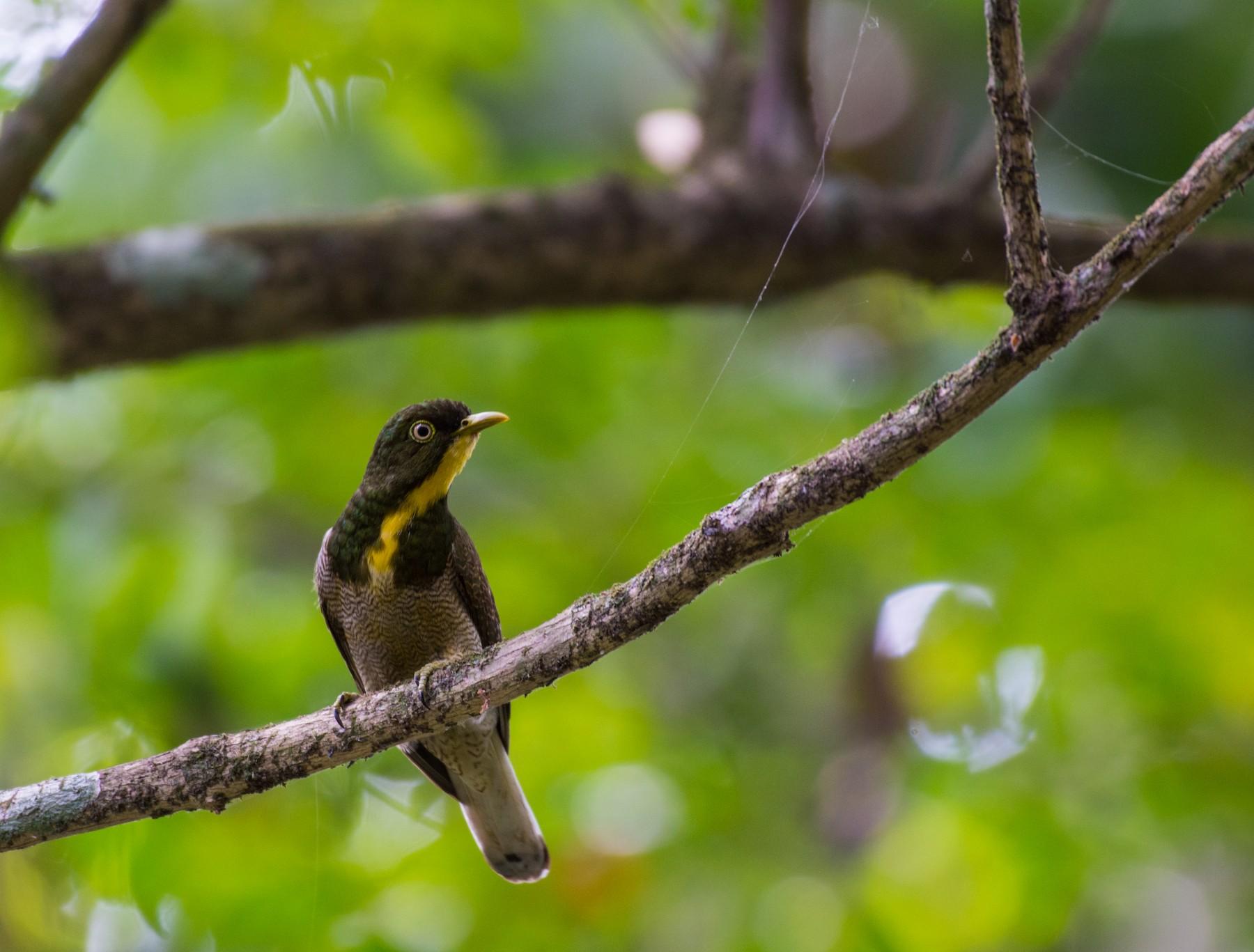 Yellow-throated Cuckoo - Aaron Kortenhoven