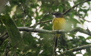 - Yellow-bellied Whistler