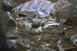 - Spotted Greenbul