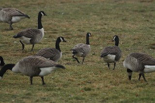 Cackling Goose, ML49777551