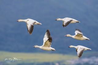 Snow Goose, ML49837631