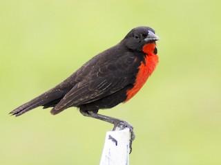 - Red-breasted Meadowlark