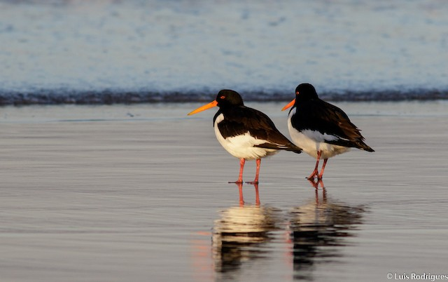 ©Luis Rodrigues - Eurasian Oystercatcher