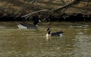 Cackling Goose, ML49928181
