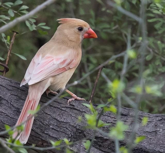 Non-eumelanic female Northern Cardinal.